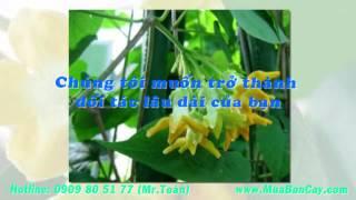 Tìm vườn bán giống cây thiên lý
