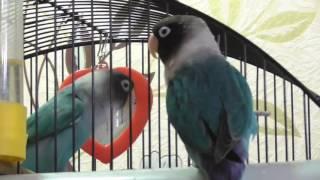Лило и Стич, Масковые неразлучники/Lilo and Stitch, lovebirds