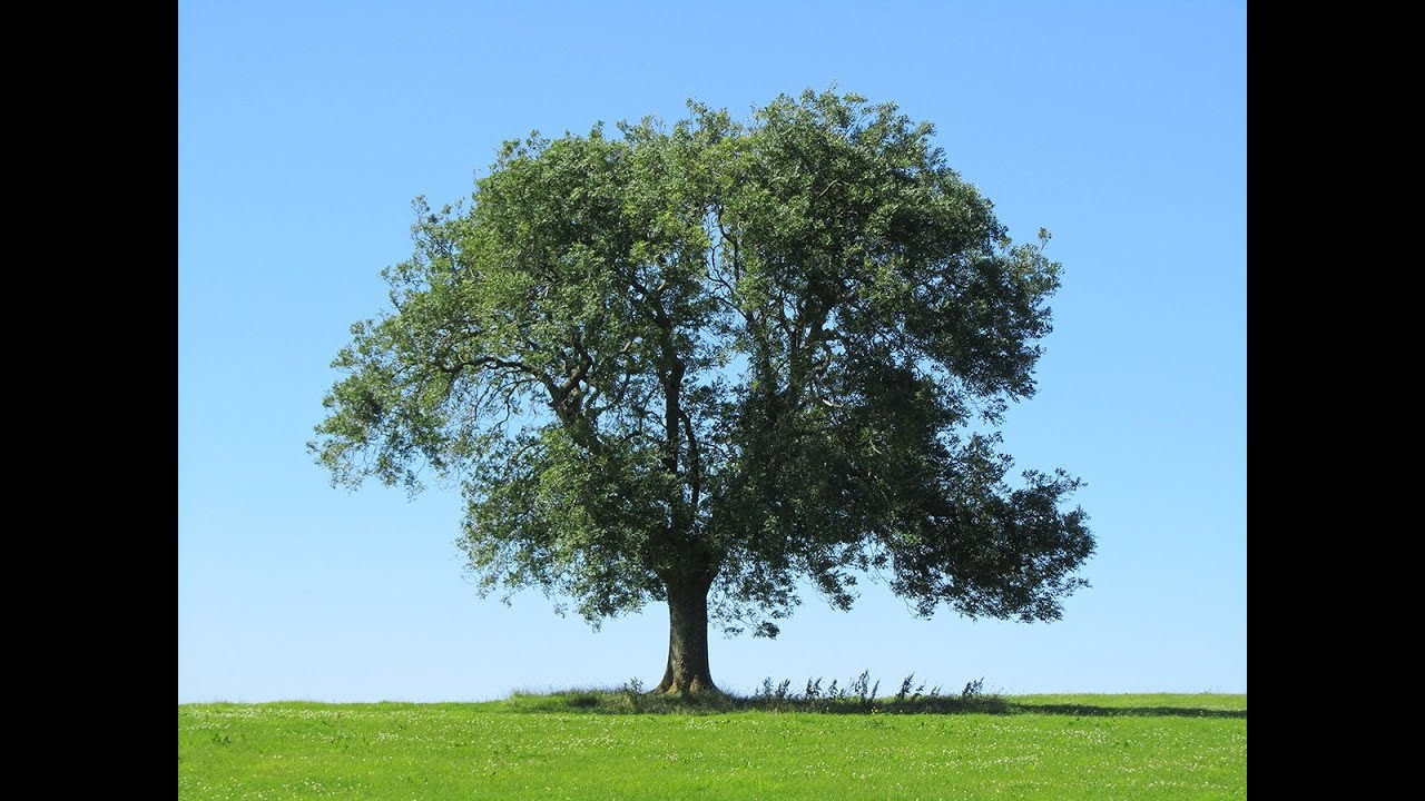Image result for ash tree