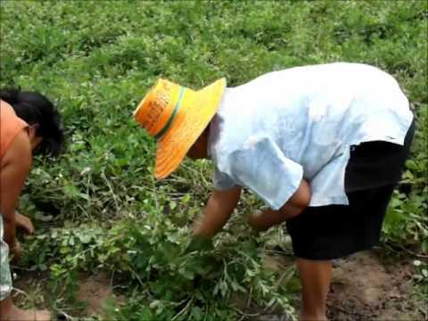 Savez vous comment poussent les cacahu tes youtube - Comment pousse les kiwi ...