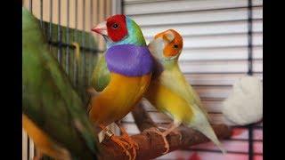 Часть 2. Цветовые морфы и генетика гульдовых амадин. Как определить синегенных птиц