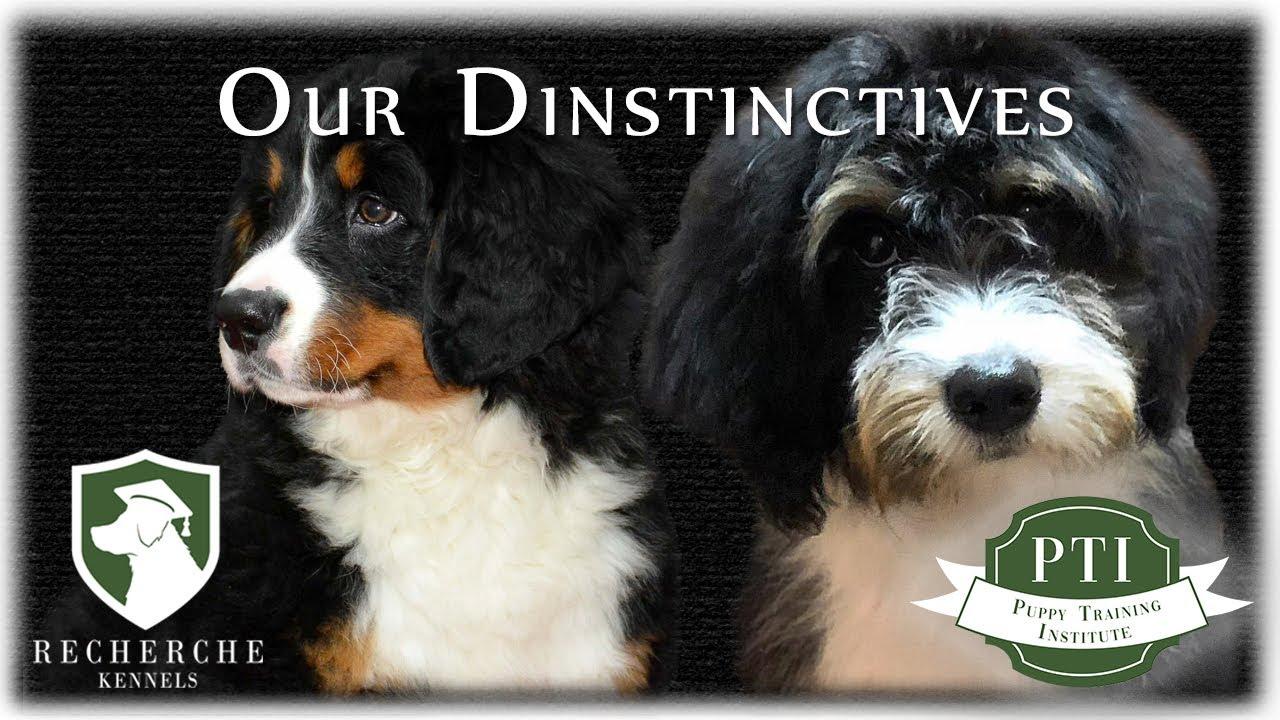 Bernese Mountain Dog And Bernedoodle Puppies Recherche