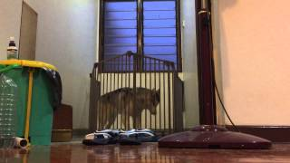 Siberian Husky The Great Escape Artist!!!