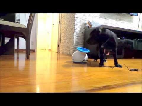iFetch Training   Niko Staffordshire Bull Terrier