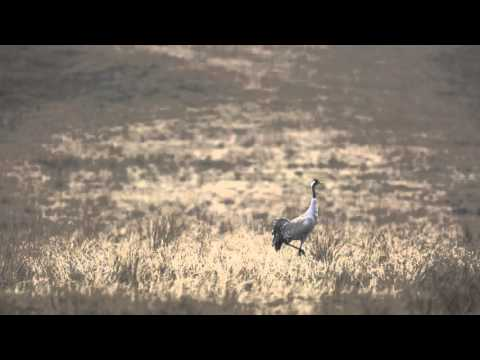 Tańczący żuraw / Dancing crane