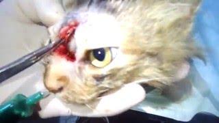 """21+""-Кошка-старая травма или абсцесс.Операция."