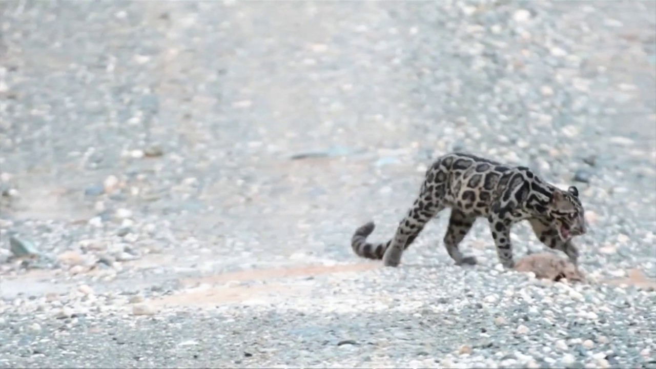 Rare, Elusive Black Leopard Caught On Camera In The Wild