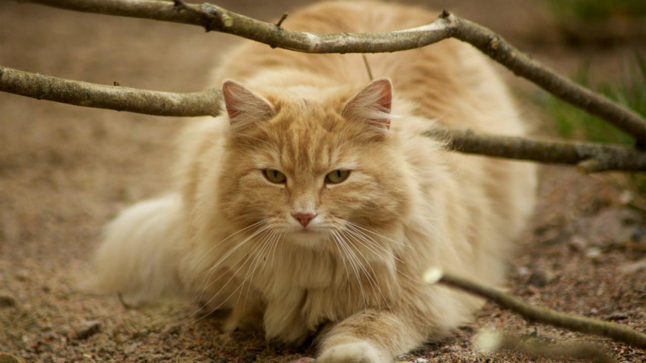Уход и Содержание Норвежская Лесная кошка Породы кошек