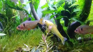 청소물고기 골든 알지이터 설명참조