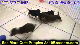 Miniature Dachshund, Puppies, For, Sale, In, Detroit, Michigan, Mi, Waverly, Holt, Inkster, Wyandott