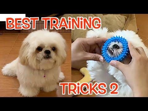 Best of Borgy's Training Tricks ( Borgy the Shih Tzu Compilation )Vol.2