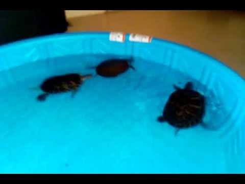 Turtles Swimming In A Mini Pool - YouTube