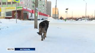 Стаи бездомных собак держат в страхе жителей Вологды