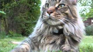 Cats and Kittens - Coonawarra Maine Coons