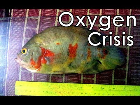 Oscar Fish Dead -  Learn From My Mistake