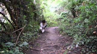 Up    Jodie The Rough Collie