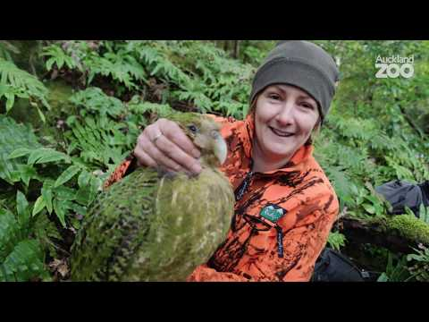Episode 1 - Kākāpō Conservation Field Work on Whenua Hou