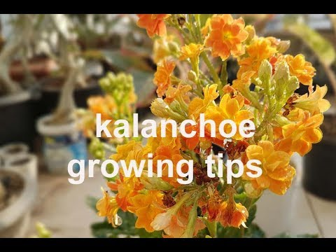 Growing Caring Tips For Beautiful Kalanchoe Plant Youtube
