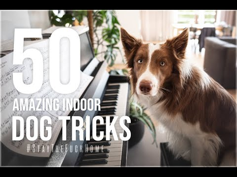 Border Collie Jimmy and 50 indoor dog tricks ♥ :: #StayTheF**kHome