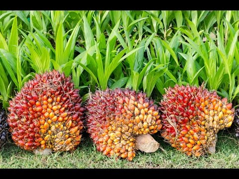 Research Spotlight: Palm oil, rainforests and  farmers in Cameroon