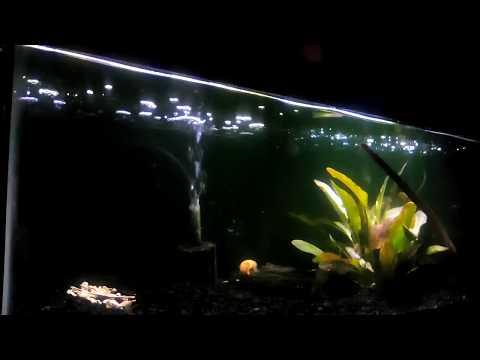 Update Ropefish , Albino Bichir , Freshwater Planted Aquarium
