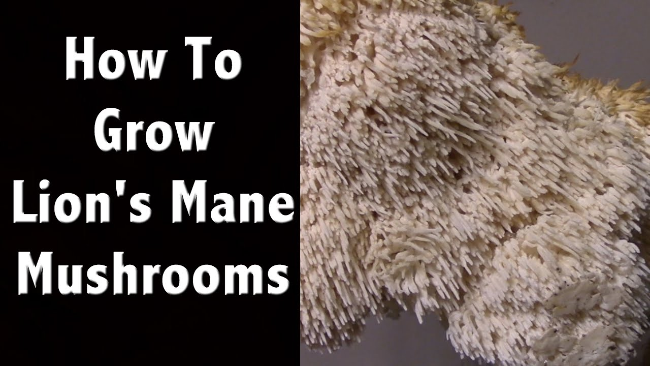 How to grow lions mane mushrooms at home mushroom farming youtube solutioingenieria Image collections