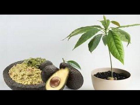 cómo cultivar su propio árbol de aguacate en una maceta en su