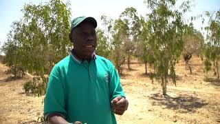 Reboisement des terres salées à Ndoff