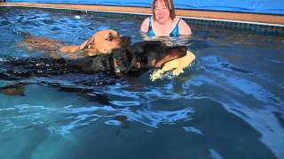 Puppy Mastiff Mix Kai & Rottweiler Lila Swim Together In The Swimming Pool