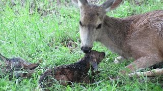 Baby fawn stands up for first time