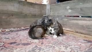 Щенки кавказской овчарки 17 дней ( нужно купить щенка )