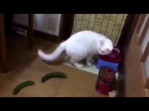 Gatos vs pepino #2