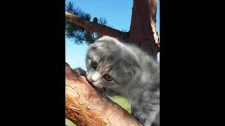 продажа шотландских вислоухих котят, в Киеве, скоттиш-фолд  Амели, 2 мес