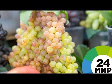 В Армении ищут новые сорта винограда - МИР 24