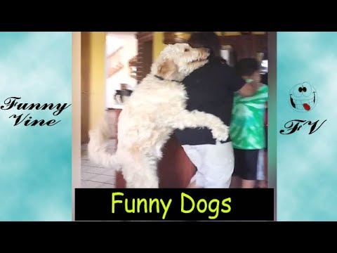 Funny Dogs | That's why I love Golden Retriever | Funny vines