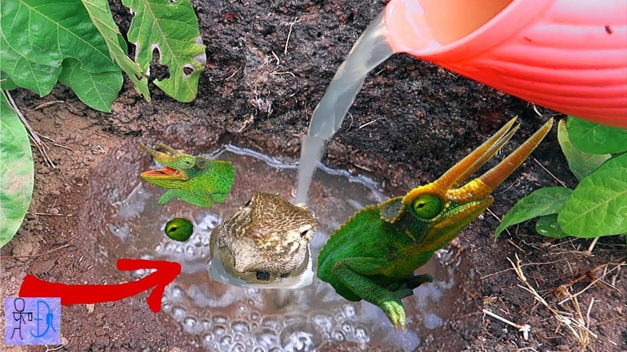Đổ Nước Vào Hang RẮN HỔ MANG CHÚA Thì Chui Ra 1 Con Vật Kỳ Lạ .Bắt Rồng Đất.Catch Komodo Dragon .