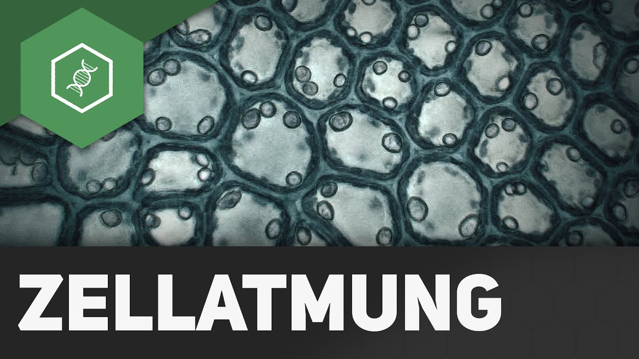 Zellatmung - wie funktioniert\'s?! - BASIC - YouTube