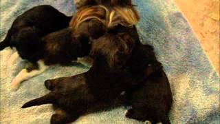 2 Week Old Miniature Schnauzer Puppies