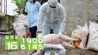 Hưng Yên: Hỗ trợ 48.000 đồng/kg tiêu hủy lợn dịch | VTC16