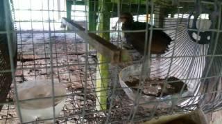 Video Ayam hutan original download MP3, 3GP, MP4, WEBM, AVI, FLV Juli 2018