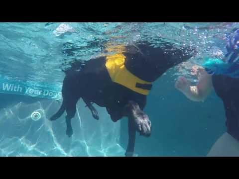 12 yo Retried search & rescue dog swims to strengthen his back legs