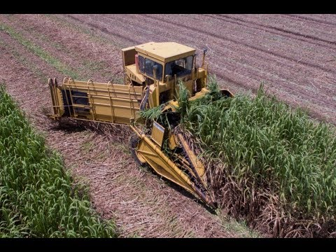 Cutting and loading seed sugarcane 2017
