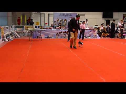 Dog Show AKC 20151205- Boston Terrier