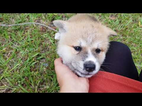 Japanese Akita puppies 6 weeks old exploring, playing and coming when called