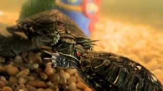 Red eared slider turtles mating dance.