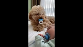 Dog Copy the Baby Holding Pacifier in Its Mouth