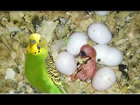 Успешное разведение (размножение ) волнистых попугаев в домашних условиях 52