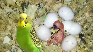 ВЫЛУПИВШИЙСЯ ПТЕНЕЦ волнистого попугая! размножение волнистых попугаев.
