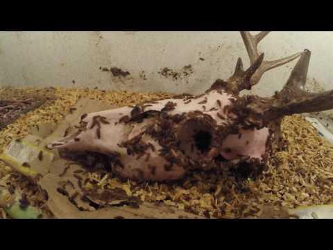 Deer Skull Time Lapse