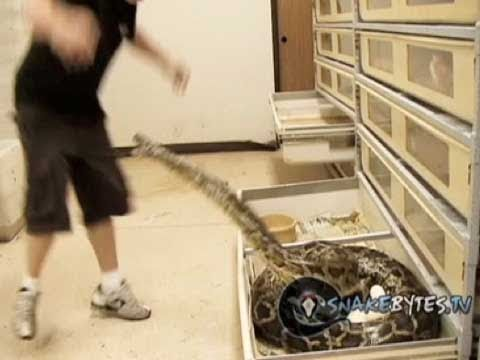 Snake Bytes TV - Monster Momma Snake Pissed Off!